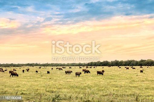 Cattle in Sierras de Córdoba, Córdoba, Argentina.
