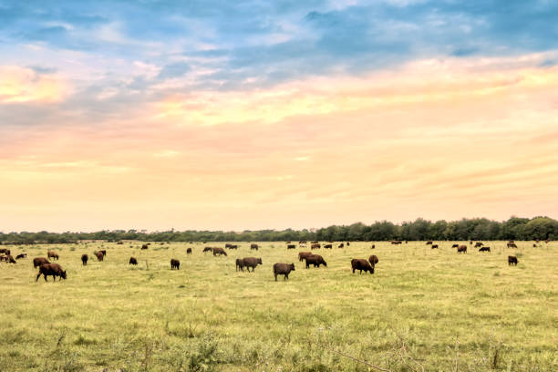 Cattle in natural pastures of the Argentine pampa. stock photo