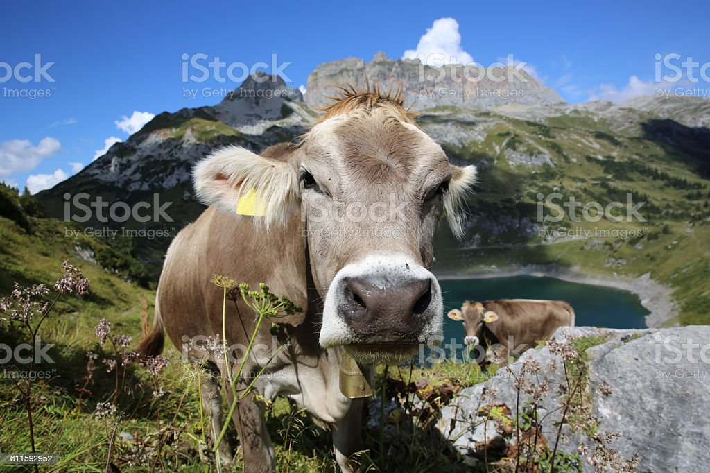 Cattle in Pennine Alps in Switzerland. Europe – Foto