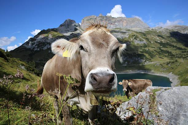 cattle in pennine alps in switzerland. europe - kanton schweiz stock-fotos und bilder