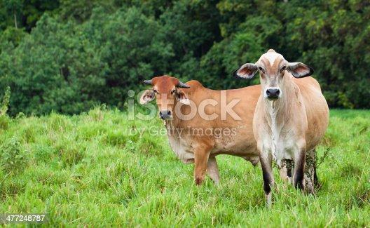 Portrait of cattle in a green pasture in Queensland, Australia.