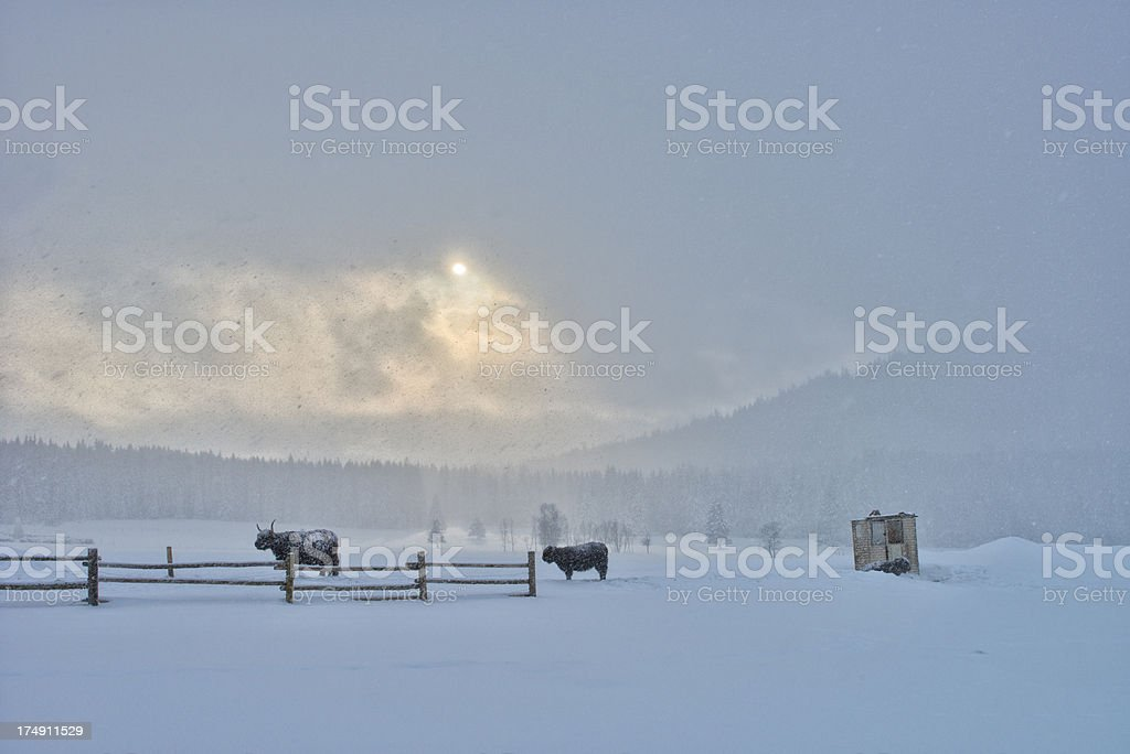 Cattle in snow blizzard royalty-free stock photo