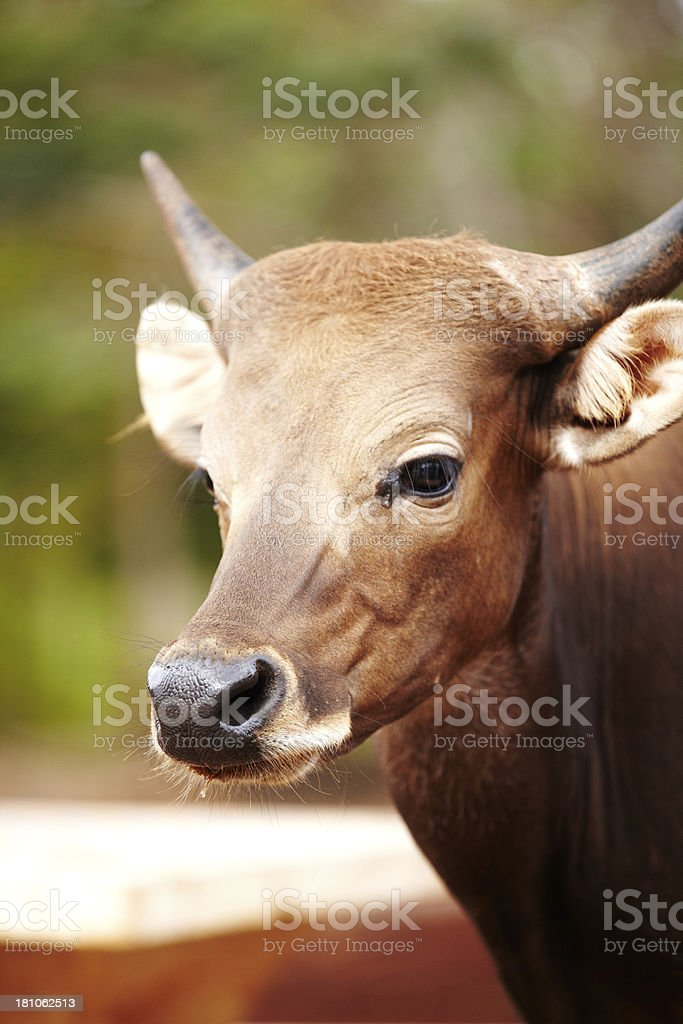 Cattle in Thailand royalty-free stock photo