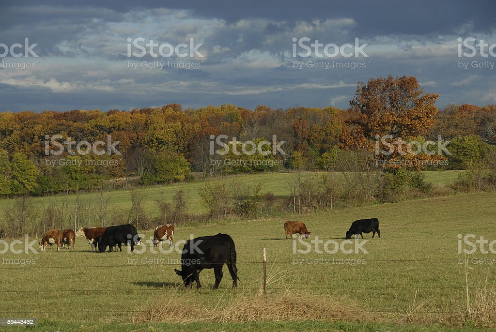 Cattle in the Early Morning Light royalty-free stock photo