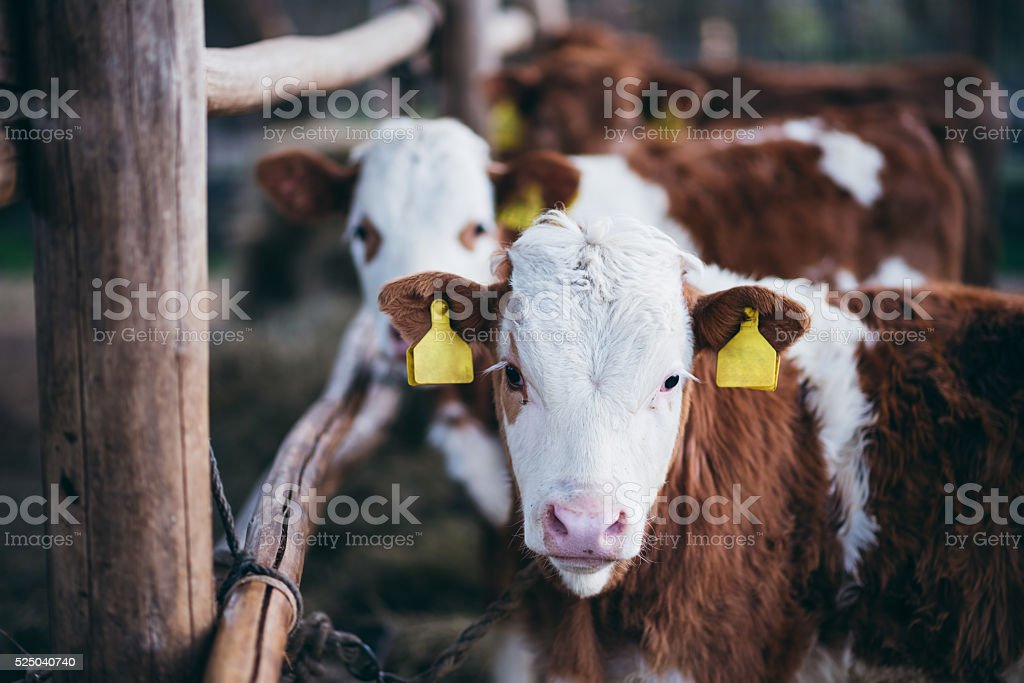 Cattle in the Farm stock photo