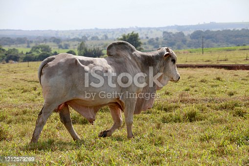 large white brahman bull in the field on countryside of Brazil
