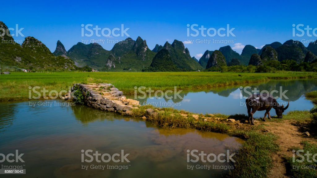 Cattle in the Lijiang River side stock photo