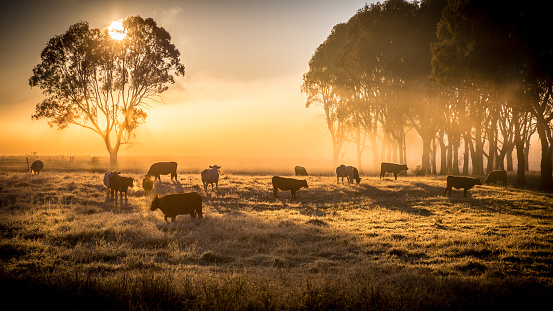 a herd of cattle in pasture, standing in early morning fog