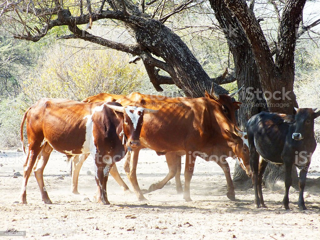 Cattle in the Sand in Shade stock photo