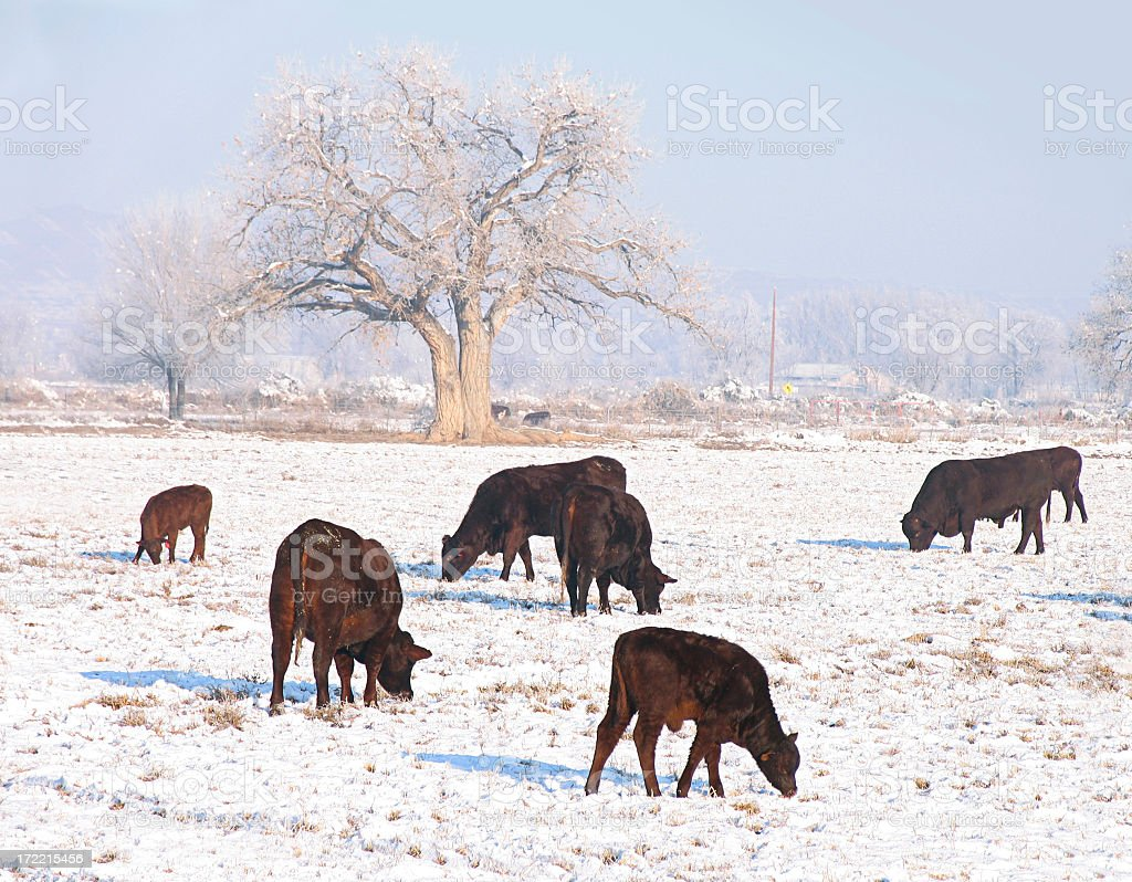 Cattle in the Snow royalty-free stock photo