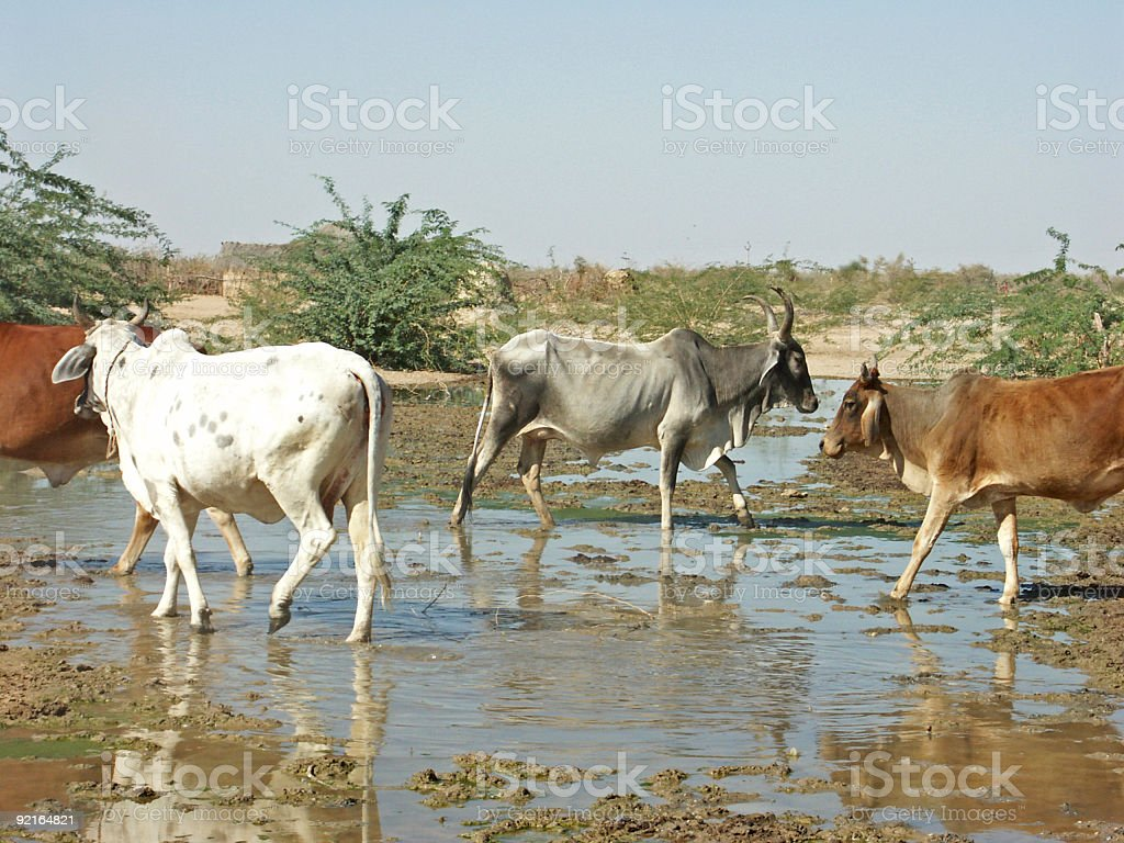 Cattle in the Thar Desert, Rajasthan,India royalty-free stock photo
