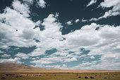 Cattle on wide fields in Wyoming, USA. Polarizing filter.