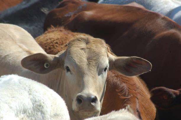 Cattle in yard picture id962338470?b=1&k=6&m=962338470&s=612x612&w=0&h=nrbl1odv2e h2naxl0jrix1zggsuwvknmu noknoika=
