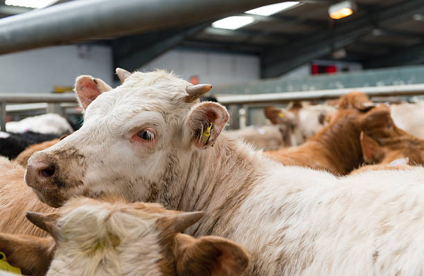 Cattle Market – Foto