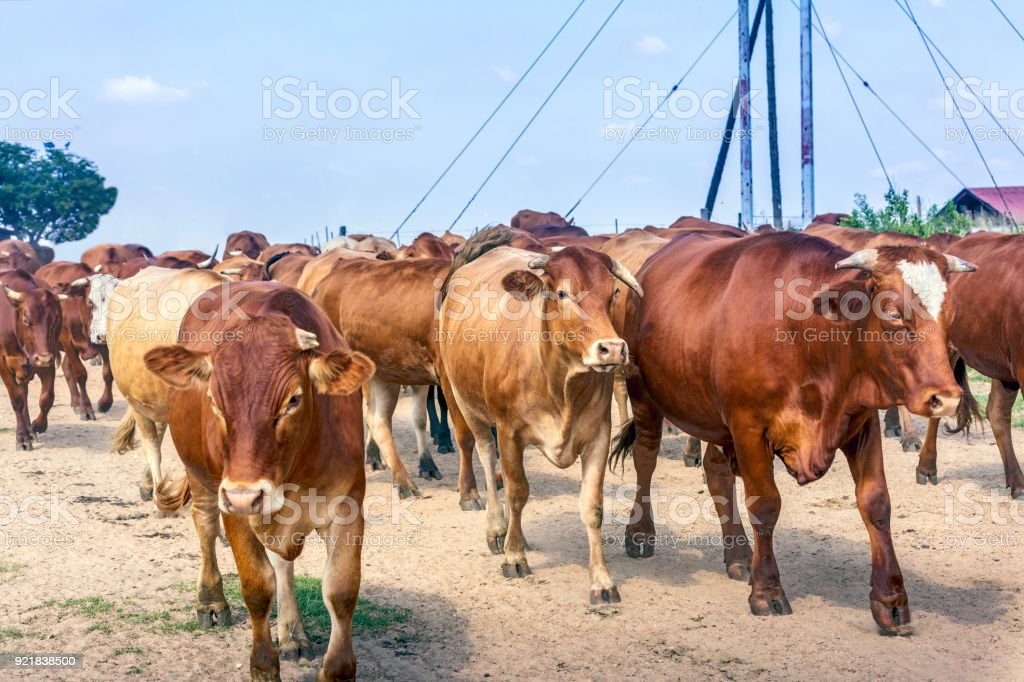 Cattle moving past the camera along the dirt road stock photo