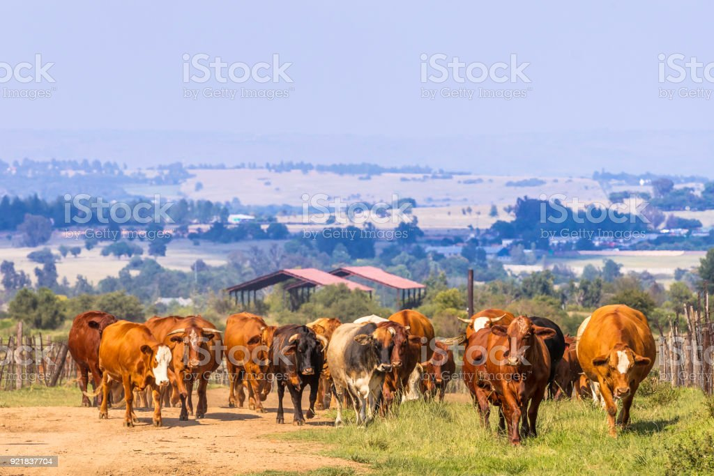 Cattle moving towards camera along the dirt road stock photo
