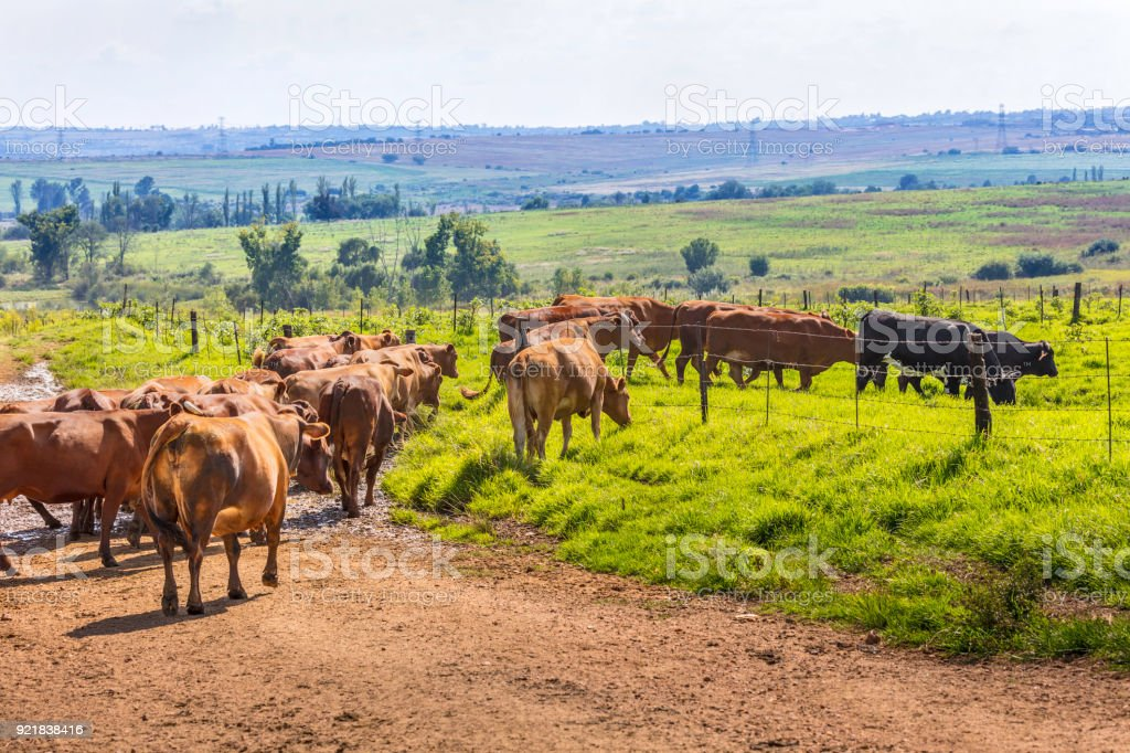 Cattle moving towards green pastures stock photo