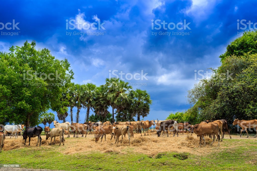 Cattle - Nelore on farm, concept image stock photo
