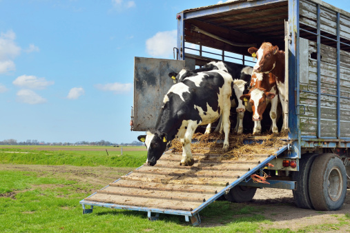livestock transport of cows to green meadow