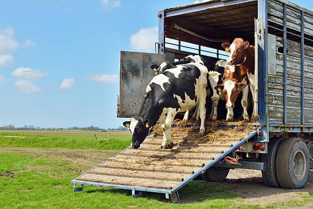 Bovino di bovini sul trasporto su prato - foto stock