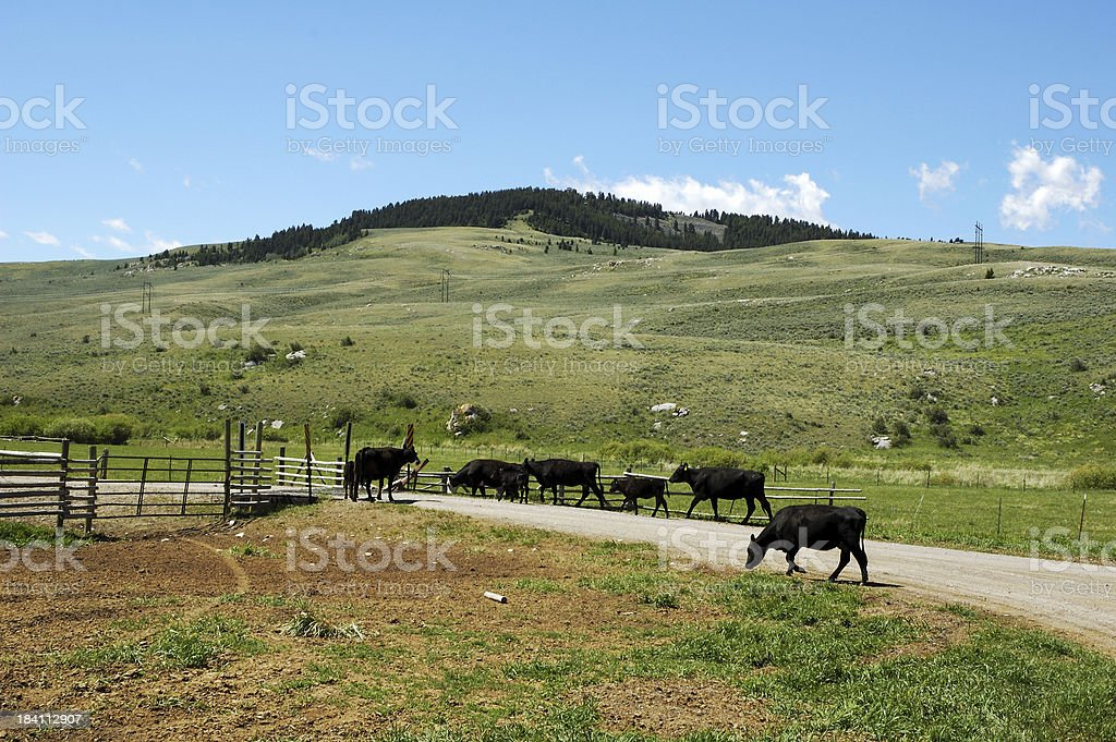 Cattle on a Country Road royalty-free stock photo