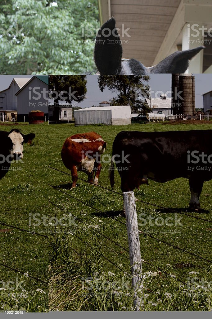 Cattle on a Farm Cattle on a country farm. Agriculture Stock Photo