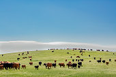 istock Cattle on a hill 990656158