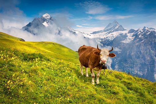 istock Cattle on a mountain pasture. 693569726