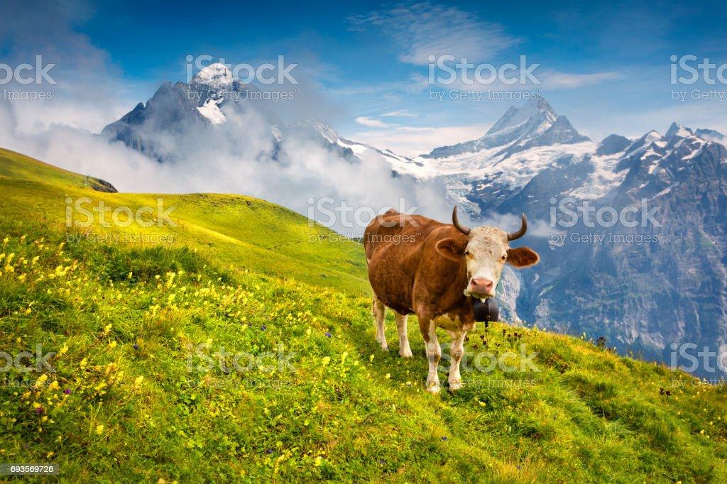Rind auf einem Berg Viehweide. – Foto