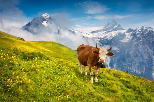 Cattle on a mountain pasture. stock photo