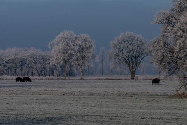 Rinder auf einer winterlichen Weide – Foto
