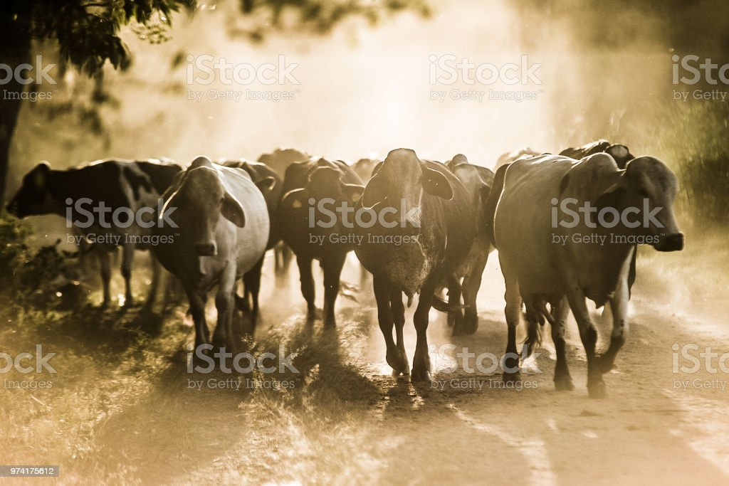 Cattle on dusty dirt road stock photo