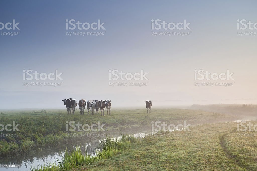 cattle on morning pasture in fog royalty-free stock photo