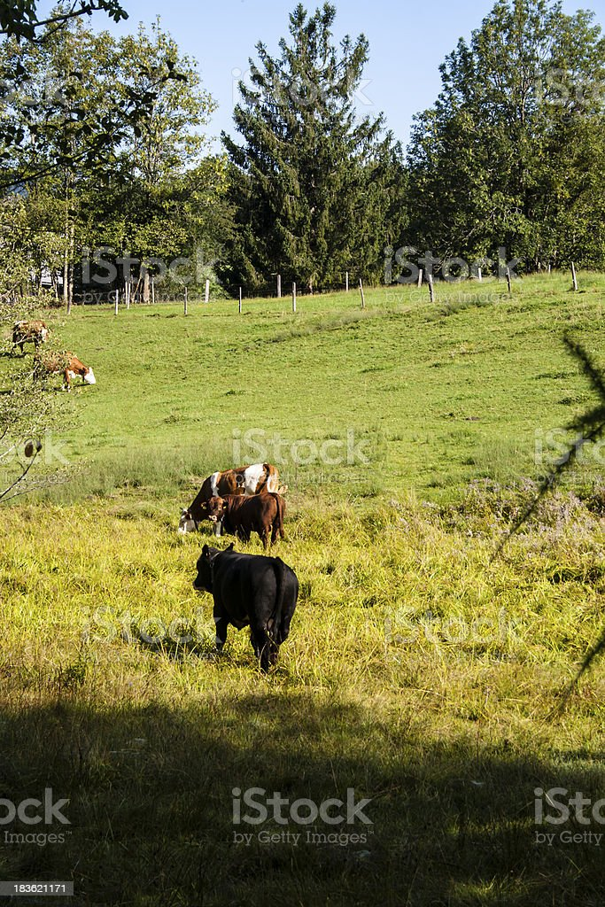 Cattle on pasture royalty-free stock photo