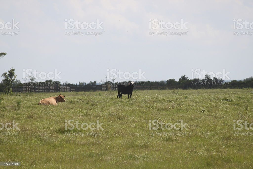 Cattle on the farm royalty-free stock photo