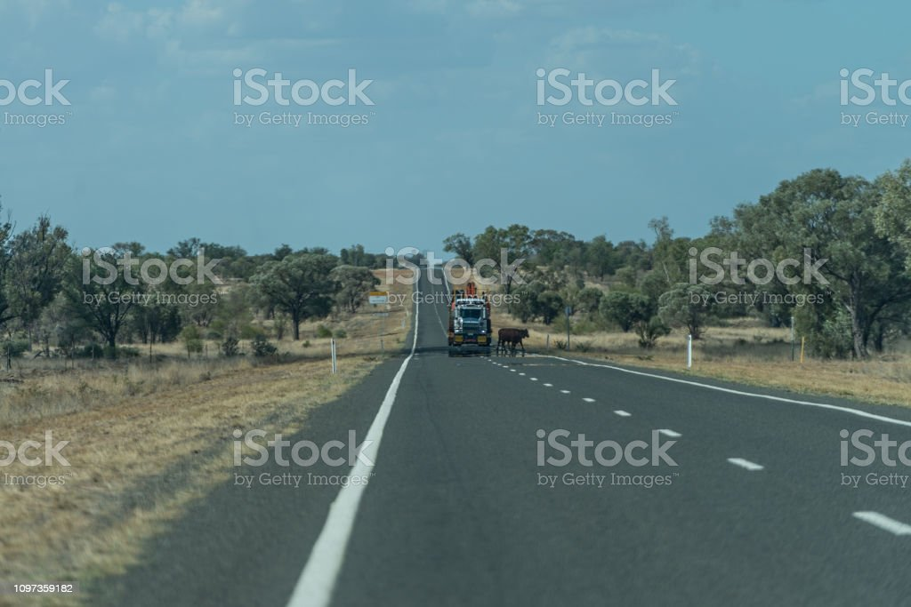 Cattle on the road with roadtrain approaching stock photo
