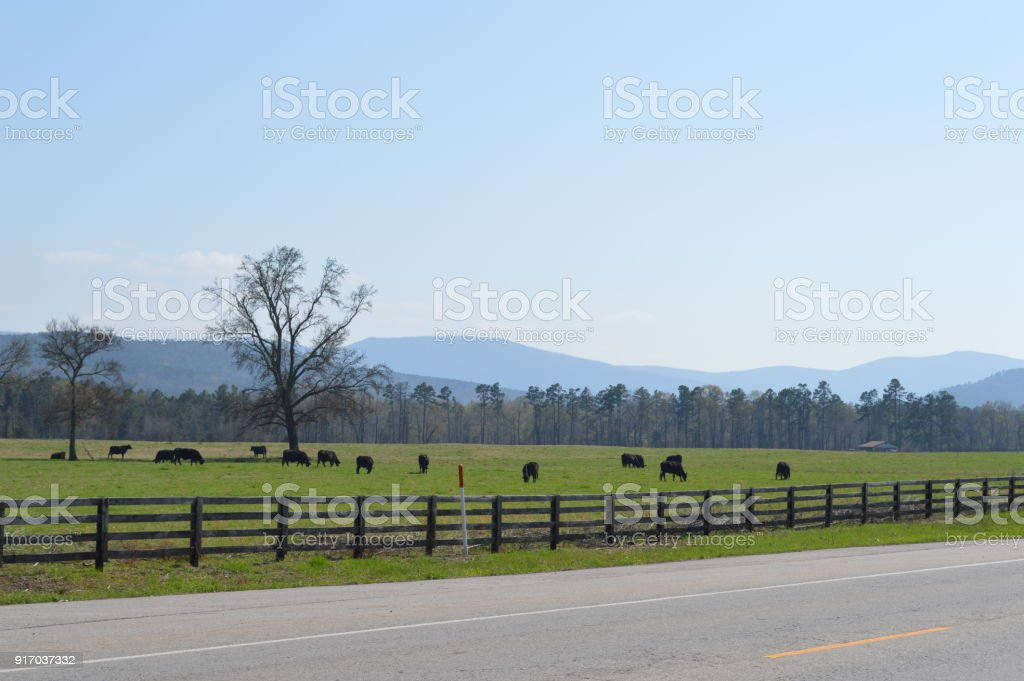 Cattle on the side of the road stock photo