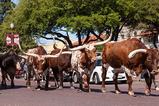 Rind auf der Straße der Forth Worth Stockyards – Foto