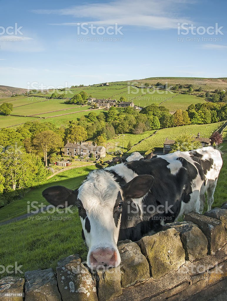 Cattle on valley side stock photo
