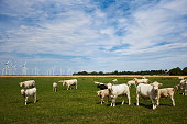 Cattle or cows with light fur graze on a green meadow under a blue sky during the day with sunshine and curiosity come very close to the camera, full-format and high-resolution photos with copy space