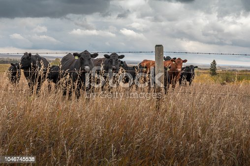 cattle in a pasture near Beiseker, Alberta
