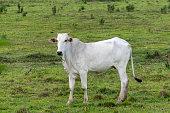 Vaca Nelore no pasto