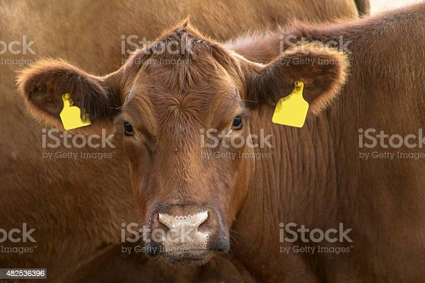 Red angus cattle in Brazil