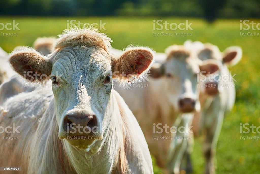 cattle stock photo