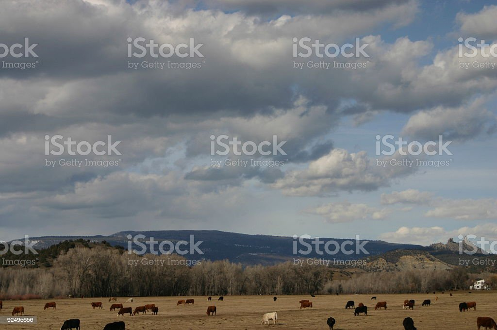cattle royalty-free stock photo