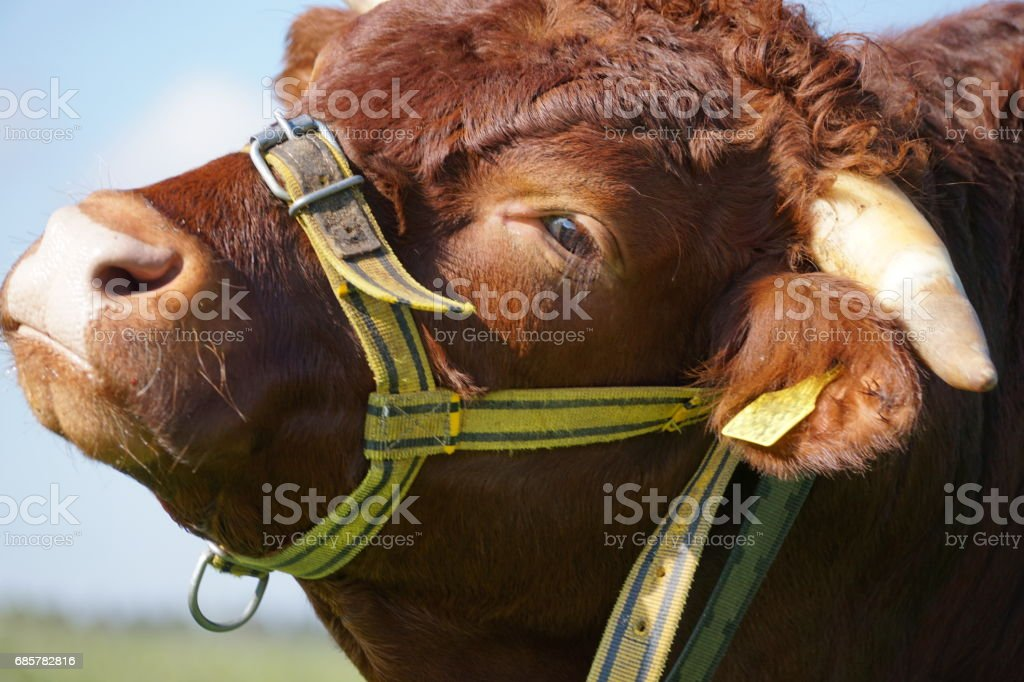 Cattle portrait of a brown Ox with white horn, Bavaria Germany. royalty-free stock photo