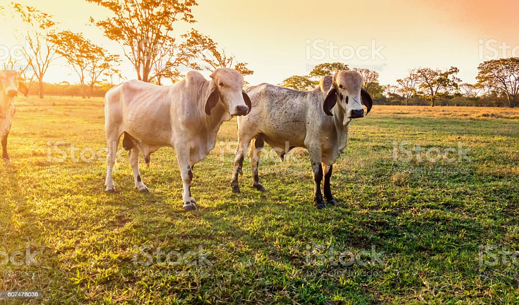 Cattle ranch. stock photo