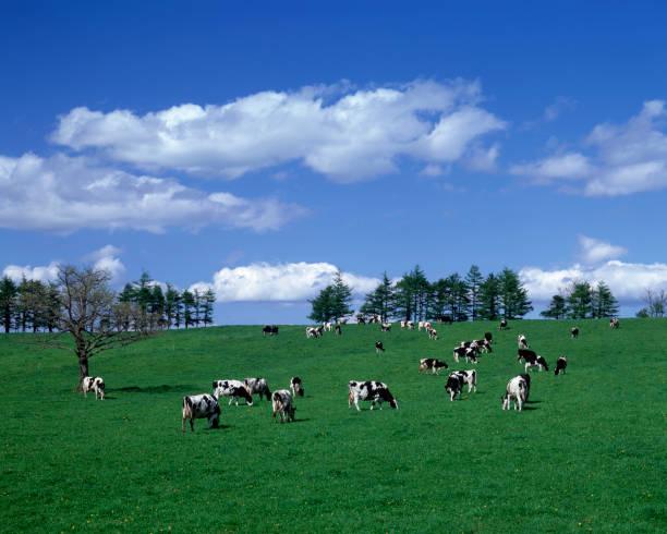 牧場の牛 - 北海道 ストックフォトと画像