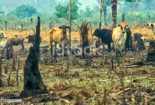 Since the 1960s, the cattle herd of the Amazon Basin has increased from 5 million to more than 70-80 million heads. Around 15% of the Amazon forest has been replaced and around 80% of the deforested areas have been covered by pastures.
