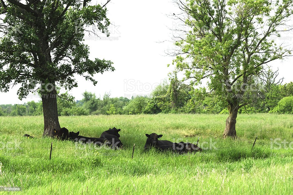 Cattle Resting in the Shade royalty-free stock photo
